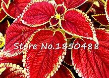 Heißer Verkauf gemeinsamen Garten coleus, Außen eingetopft blühende Pflanze Bonsai Blumenbeet Samen, Bonsai-Kräuter-Samen etwa 100 Teilchen