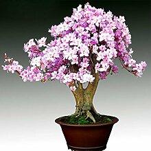 Heißer Verkauf Seltene Bonsai Licht Lila Azalee