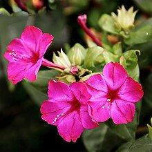 Heißer Verkauf Seltene Pink Jasmin Samen Duftende
