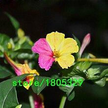 Heißer Verkaufs-Rare Gelb und Pink Blütenblätter Jasmin Samen Duftpflanzen Mirabilis Blumensamen Bonsai Gartenblumensamen 50PCS