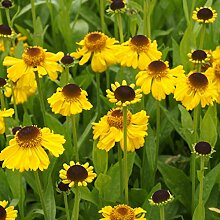 Helenium bigelovii 'The Bishop' -