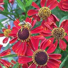 Helenium Hybride 'Moerheim Beauty' -