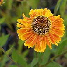 Helenium Hybride 'Wyndley' - Sonnenbraut,