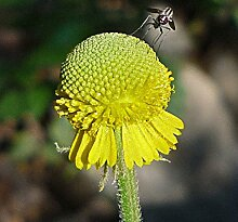 Helenium puberulum | Autumn Lollipop | Sonnenbraut