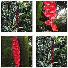 Heliconia nigripraefixa - spektakuläre Blüten -