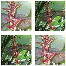 Heliconia riopalenquensis - spektakuläre Blüten