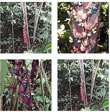 Heliconia sclerotricha- spektakuläre Blüten - 10 Samen - Kübelpflanze - sehr selten !