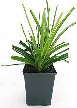 HEMEROCALLIS AUTUM RED Echte Pflanze
