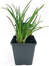 HEMEROCALLIS GOLD STERN - echte Pflanze