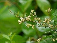 Hennastrauch Lawsonia inermis Pflanze 5-10cm Henna