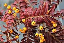 Herbst-Eberesche 'Autumn Spire'® - starke