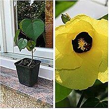 Hibiskus Tiliaceus, 1 Pflanze 30 cm Geamthöhe
