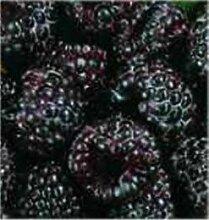 Himbeere Black Jewel - Rubus idaeus