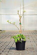 Himbeere Meeker, 30-40 cm, Beerenobst Pflanze,