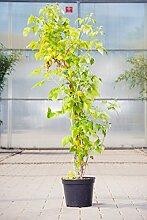 Himbeere Rubaca, 30-40 cm, Beerenobst Pflanze,