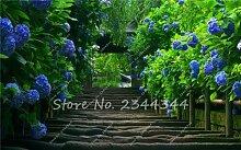 Himmelblau: 50 Stücke Hortensie Samen Bonsai