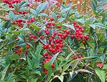 Himmelsbambus Nandina domestica Nandine Pflanze