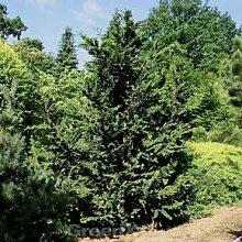 Hinoki Scheinzypresse Teddy Bear 40-50cm -