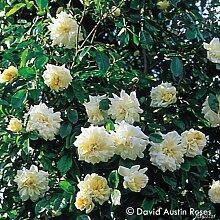 Historische Ramblerrose 'Albéric