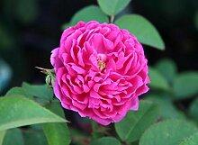 Historische-Rose`Rose de Resht´