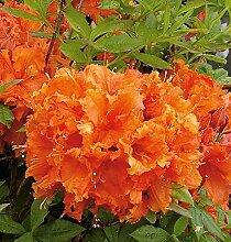 Hochstamm Azalee Gibraltar 60-80cm - Rhododendron