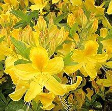 Hochstamm Azalee Goldtopas 60-80cm - Rhododendron