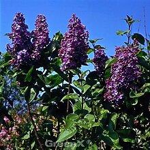 Hochstamm Edelflieder Bloomerang® Dark Purple