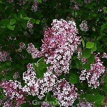 Hochstamm Edelflieder Bloomerang® Pink Perfume