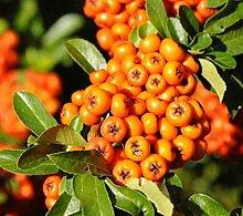 Hochstamm Feuerdorn Orange Charmer 100-125cm -