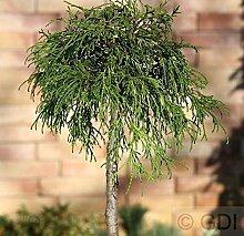 Hochstamm Gelbe Fadenzypresse 40-60cm -