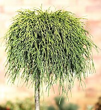 Hochstamm Gelbe Fadenzypresse Sungold 40-60cm -
