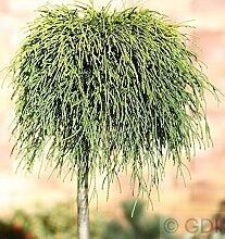 Hochstamm Gelbe Fadenzypresse Sungold 60-80cm -