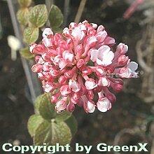 Hochstamm Großblumiger Duft Schneeball 80-100cm -