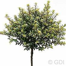 Hochstamm Löffel Ilex Glorie Dwarf 60-80cm - Ilex