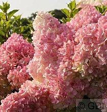 Hochstamm Rispenhortensie Vanille Fraise® 60-80cm