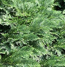 Hochstamm Scheinzypresse Nidiformis 80-100cm -