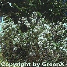 Hochstamm Weißer Persische Flieder 60-80cm - Syringa persica alba