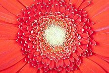 Hochwertige Fototapete - Rote Gerbera I