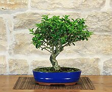 Holly bonsai tree (1)