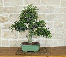 Holm Oak bonsai tree (30)