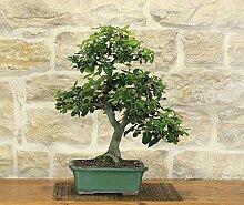 Holm Oak bonsai tree (34)