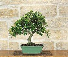 Holm Oak bonsai tree (39)