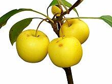 Holzapfel/Wildapfel (Malus sylvestris) 20 Samen