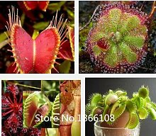 Home & Garden 100 Mix Fleischfresser Fleischfressende Pack Tierart Samen – Venusfliegenfalle & sundews Bulk Samen Pack verieties Bonsai Flowe
