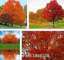 Home & Garden 50Samen/Pack Japanisch Rot Ahorn Baum mit hermetisch geschlossenen Paket * sehr schöne * JAPAN Ahorn Neue Samen * Plus Myster