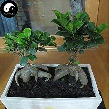Homely Kaufen Sie Ficus Microcarpa Tree Semente