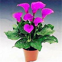 HONIC 100 PC-Calla-Lilien-Bonsai, seltene Pflanzen