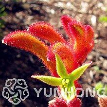 HONIC 20PCS African Red Lila Mini Sky Blue Rare