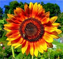 HONIC 20Pcs / Bag-Regenbogen-Sonnenblume Bonsai