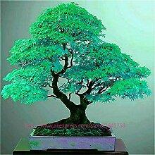 HONIC 50 Ahornbaum in Bonsai selten Zartes Grün